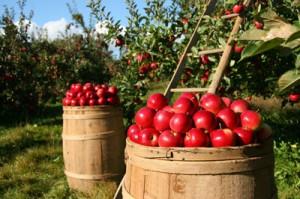 Best Apple Picking Spots in Burlington County!